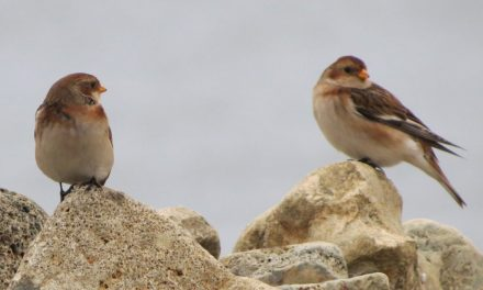 Spotting the elusive Snow Bunting at South Gare