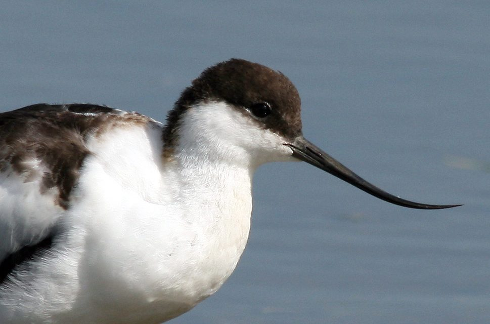 Avocets return to the Tees